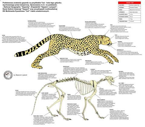 Gepard - anatomia